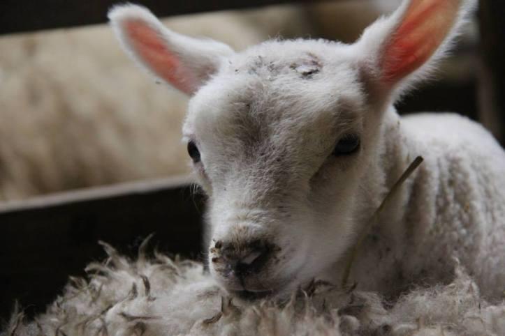 lambs_02