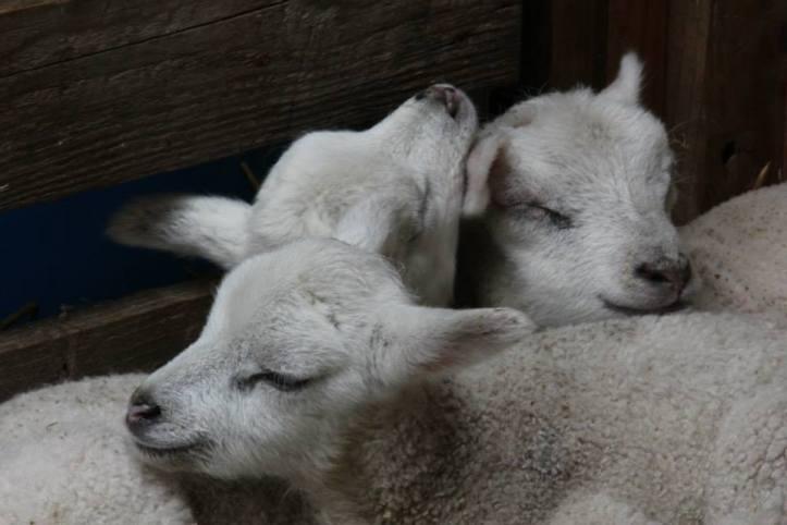 lambs_03